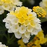 """(ALAN)~""""LUCKY YELLOW"""" LANTANA~Seeds!~~~~~~Excellent in Pots!"""