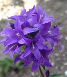 Superba Clustered Bellflower - Campanula - Quart Pot (Purple Campanula Plant)