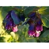 Cerinthe camar/ón azul PRIDE DE GIBRALTAR FLOR semillas//auto-siembra 25