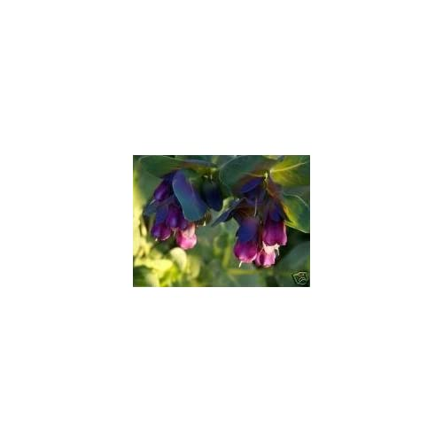 10 BLUE SHRIMP PLANT / HONEYWORT / BLUE WAX Cerinthe Major Flower Seeds