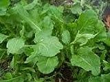 Arugula Italian Cress Rocket Bulk 12,000 Seeds Great Heirloom Vegetable