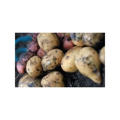 5lbs French Fingerlings and Kennebec Potato Seed Mix Non GMO Hand Selected Certified Seed : Garden & Outdoor