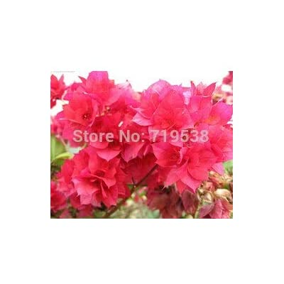 Kasuki 10pcs / Bag,Bougainvillea bonsais, Potted Bonsai, Flower Bonsai, Variety Complete, The Budding Rate 95%, (Mixed Colors) - (Color: 9): Garden & Outdoor