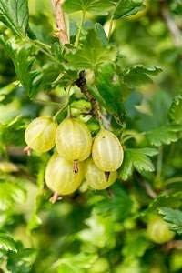 Alick 10 semillas de fruta de grosella espinosa