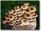 The Pioppino Mushroom Garden Patch- Indoor Mushroom Growing Kit - Grow Edible Mushrooms & Fungi. Easy & Fun Mush Room Grow Kits