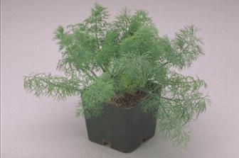 Dill Fern Leaf Dwarf Anethum graveolens 2,000 seeds
