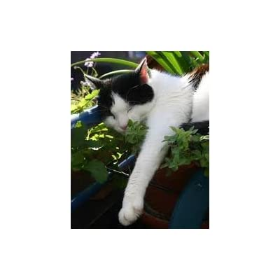 Hinterland Trading Catnip Seeds 200+ Catmint Cats and Kitties Love It : Herb Plants : Garden & Outdoor