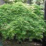 Green Lace Japanese Maple - (1 Gallon) Viridis Japanese Maple-Gorgeous Dwarf Japanese Maple with Bright Green, lace Leaf Foliage and Cascading Branches to Form an Elegant Dome-Shaped Plant, Gorgeous Small Weeping Plant