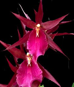 3 Large Diffferent Oncidiums Live Orchids Plants ... by Angels Orchids (Image #9)