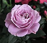 "Parade Lamy Miniature Rose Bush - Fragrant/Hardy - 4"" Pot"