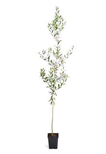 Arbequina Olive Tree 2-3 feet Tall - Get Olives 1st Year with Large Olive Trees - Indoor/Patio Live Olive Trees   No Shipping to - Olive Arbequina