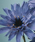 30-blue-catananche-cupids-dartflower-seeds-drought-tolerant-problem-free-perennial