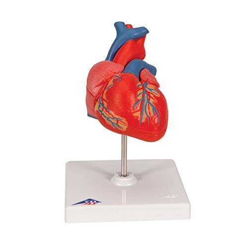 3B Scientific G08 Classic Student-Size Heart 2-part - 3B Smart Anatomy (Best Ct Anatomy App)