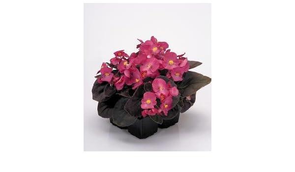 Bedding Begonia Begonia Nightlife Mix Seeds Flowers All Summer Long