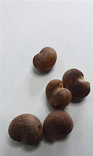 5 planta del /árbol Adansonia de Sargassum baobabs gigante F1 semillas #432