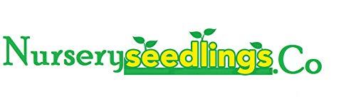 8 Planting White Pine Sapling Trees 12inch Evergreen seedling transplants #HSE by NurserySeedlings.Co (Image #6)