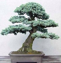 25 Colorado Blue Spruce, Picea pungens glauca, Tree Seeds EXCELLENT BONSAI SPECIMEN or Charismas ()