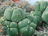 "SVI gymnocalycium horstii in a 4"" Pot, 1653, Seed Grown Cactus Plant"