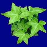 Green Ivy Plants (Hedera Helix) in a 8.5cm Pot. English Ivy