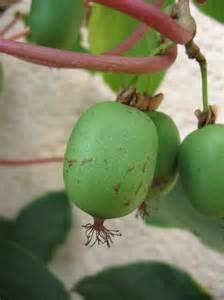 Hardy Kiwi Vine - 4