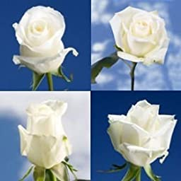 GlobalRose Premium Assorted Heavenly White Roses - 100 Assorted White Roses