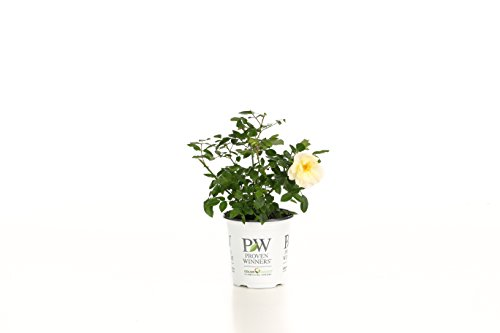 Oso Easy Italian Ice Landscape Rose (Rosa) Live Shrub, Orange, Pink, and Yellow Flowers, 4.5 in. Quart (Best Place To Plant Knockout Roses)