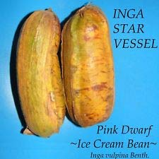 - INGA Star Vessel~ Inga vulpina Pink Dwarf ICE Cream Bean Live Small pot'd Plant