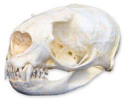 Northern Fur Seal Skull (Female) (Teaching Quality Replica) - Northern Fur Seal