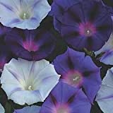 'Hazelwood Blues' Morning Glory - 35 Seeds