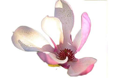Jane Tulip Magnolia Tree - Live Plant - Shipped 1 to 2 Feet Tall by DAS Farms (No California)