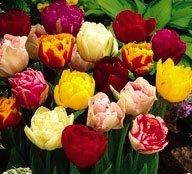 100 Bulbes de tulipes doubles M/élange Livraison Gratuite 12//+ Calibre
