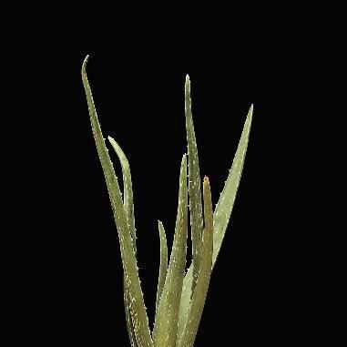 865900 - Aloe Living Specimen - Aloe - Each