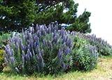50 Blue Pride of Madeira Echium Candicans Fastuosum Nectar Flower SeedsCombS/H