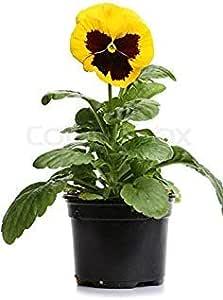 Semillas BloomGreen Co. Flor: Las semillas del pensamiento-suizo ...