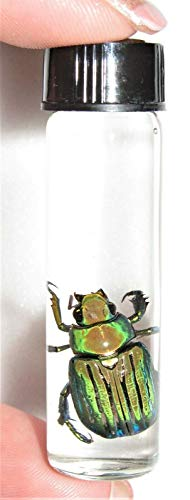 (Siam Insects Real CHRYSINA Gloriosa Green Gold Scarab Beetle Wet Specimen 2IN Vial )