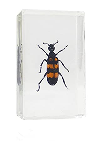 Real Bugs Blister Beetle in Resin: Amazon co uk: Office Products