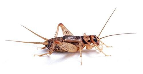 "Bulk Live Crickets - 500 count (Large - 1"")"