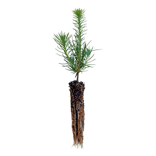 Shore Pine | Small Tree Seedling | The Jonsteen Company