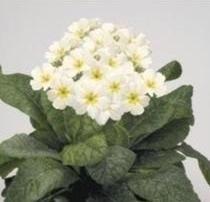 Polyanthus  Crescendo White  10 Seeds