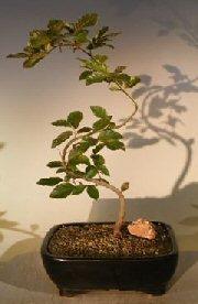 Copper Beech Tree - 6