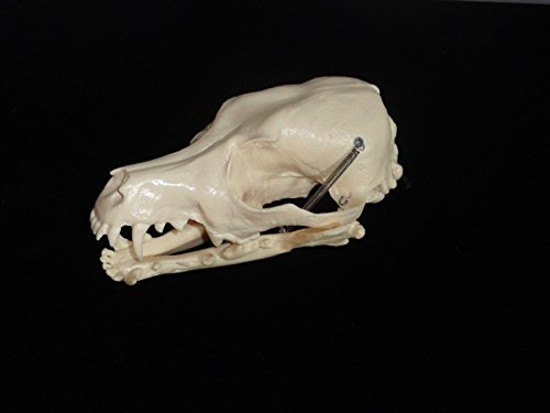 Canine (Dog) Skull Only 2nd Quality SPECIAL SALE Veterinary
