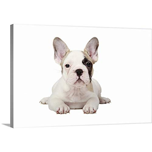 Pied Bulldog French (Canvas on Demand Premium Thick-Wrap Canvas Wall Art Print entitled Fawn Pied French Bulldog puppy on white background. 48