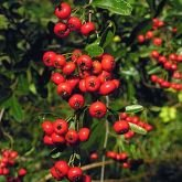 5 x Pyracantha Red Column 30-40cm in 9cm pot (a282)