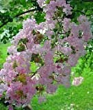 Lagerstroemia indica: Crape Myrtle Seeds by TreeHelp.com