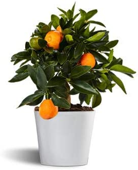 kumquat o naranjo de la china - cítrico enano de interior - maceta ...