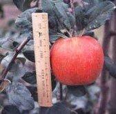 Crisp Tart Apples - 2
