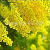 20 GOLDEN MIMOSA SEED Acacia Baileyana Yellow Wattle Tree Flower Seeds bonsai plant free shipping