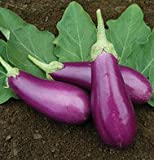 Eggplant Dancer Purple 25 Seeds by David's Garden Seeds