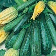 Seekay Calabacín' Verde Matorral ' 5 Semillas Calabacín/Calabaza Verde - 5 seeds