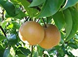 (5 Gallon) Dwarf, Shinko Asian Pear Tree. Crisp, golden fruit, refreshingly sweet flavor. Ripens mid season, stores well into the winter. is a valuable landscape addition.
